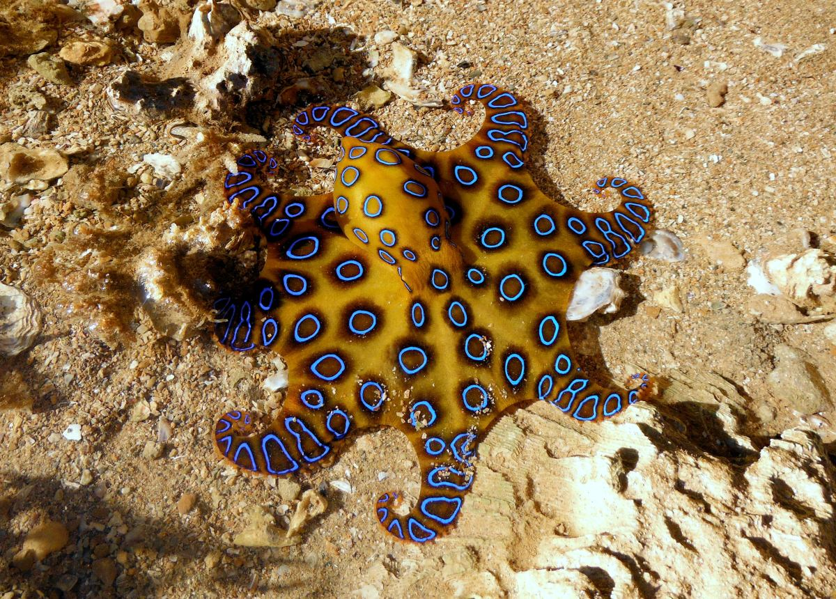 My Blue Ringed Octopus Encounter