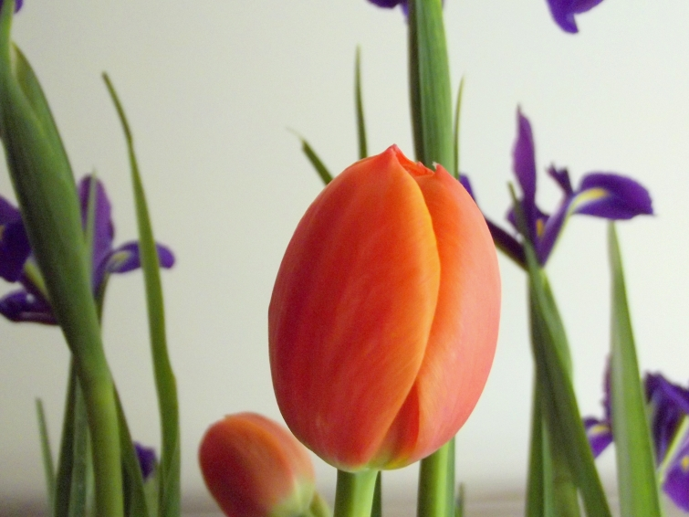 Tulip in close.
