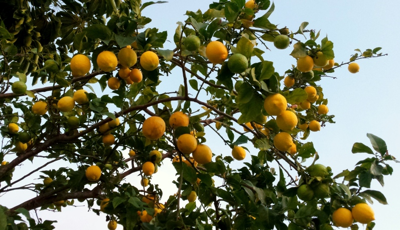 Typical! Bleak Perth winter and a very disappointing crop of lemons!
