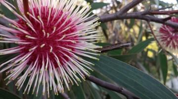 Wildflower in Perth Western Australia