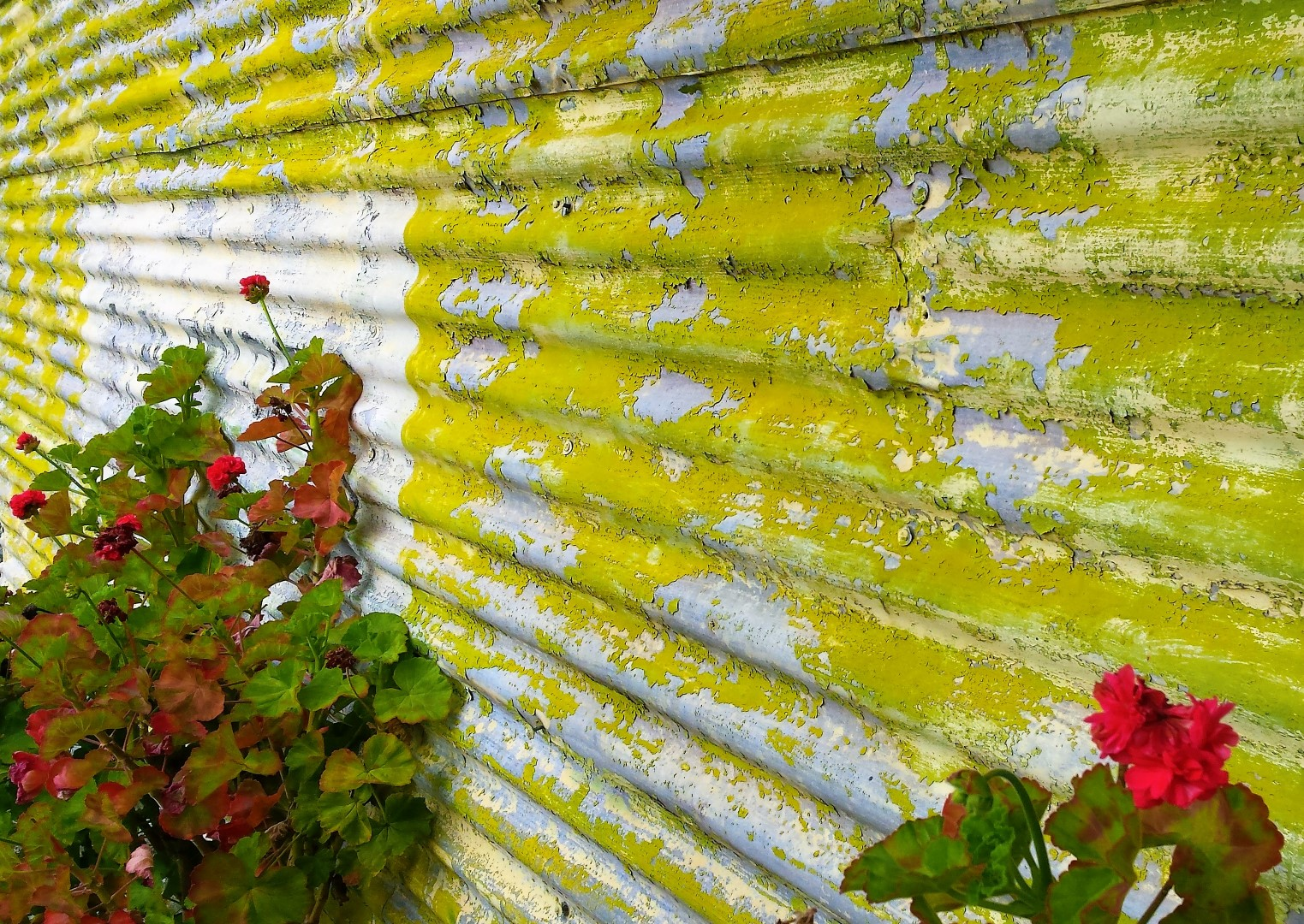 fence paint flaking with geraniums